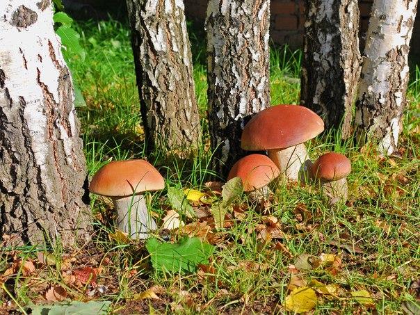 Сезон тихой охоты: грибные места Подмосковья. 3184.jpeg